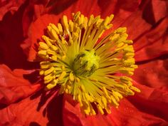 RED hot Poppy ... by Bill Cowles            Olympus Digital Camera            Bill Cowles: Photos                                 #nature #photography