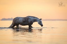 Dapple grey horse(с) Алексия Хрущева 2013