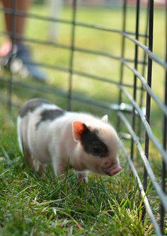 Teacup pig... :)