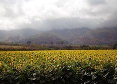 Sunflower farm on #Oahu #hawaiilife www.hawaiilife.com