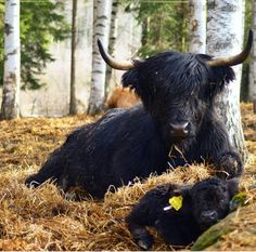 Black highland cow and a calf – animals Highland Cow Painting, Highland Cow Art, Highland Cattle, Farm Animals, Animals And Pets, Cute Animals, Scottish Cow, Animals Beautiful, Beautiful Creatures