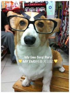 Emo Corgi | The 40 Most Important Corgis Of 2013