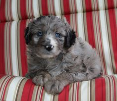 Crockett Doodles - Family Raised Doodle Puppies for Sale Mini Goldendoodle Puppies, Bernedoodle Puppy, Maltipoo, Aussie Doodle Puppy, Aussie Puppies, Puppies For Sale, Chihuahua Puppies, Cute Animals With Funny Captions, Dogs