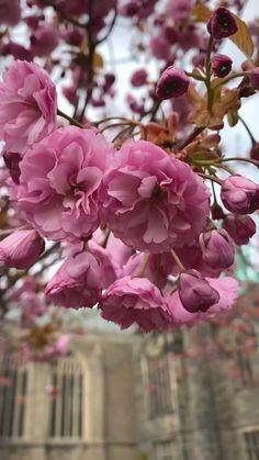 Tree Wallpaper, Animal Wallpaper, Blossom Trees, Cherry Blossom, Good Morning Flowers, Pink Tone, Flowering Trees, Spring Flowers, Beautiful Flowers