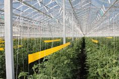 EuroFresh Farms has more than 300 acres of enclosed growing facilities like this greenhouse in Wilcox. (Inside Tucson Business - Patrick McNamara)