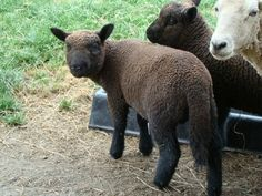 Caring for sheep basics.