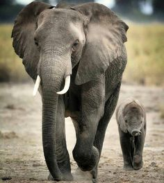 "missamanduh143: "" Omggg @loveone_project you post the best elephant and animal pictures ever thanks for sharing them """