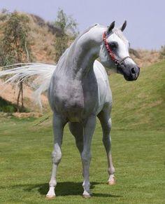 majestic Arabian horse