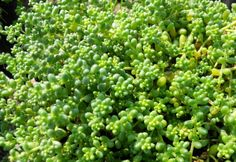 Sedum (Stonecrop) is a very diverse genus of drought-tolerant succulent plants. These attractive care-free succulents are highly sought after for use in perennial gardens, container gardening or greenroofs. Horticulture, Drought Tolerant Plants, Cool Plants, Planting Succulents, Pacific Northwest, Container Gardening, Perennials, Cactus, Flora