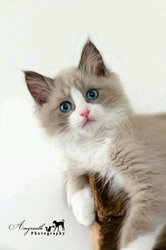 Cute Ragdoll kitten.
