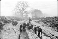 © James Ravilious - Irwin Piper Leading His Sheep, Upcott Dolton, 1981 Sheep Illustration, Old Time Photos, Farm Photography, British Countryside, Fine Art Photo, Country Art, Street Photo, Photoshoot Inspiration, White Art