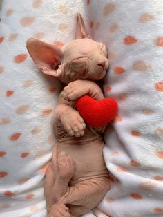You can not look at a sleeping cat and feel tense (Sphynx cat) Baby Cats, Cats And Kittens, Ragdoll Kittens, Funny Kittens, Bengal Cats, White Kittens, Adorable Kittens, Beautiful Cats, Animals Beautiful