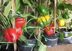 Cara Mudah Menanam Cabai Paprika Dalam Pot http://slosa.blogspot.com/2016/04/cara-mudah-menanam-cabai-paprika-dalam-pot.html