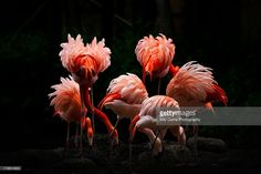 Flamingos caught with glow in feathers.