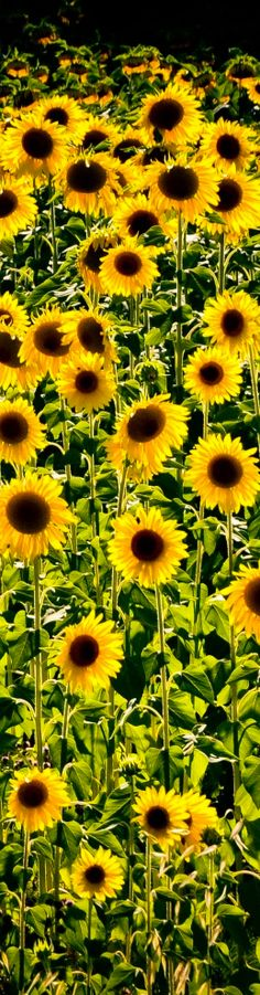 Sunflowers Tuscany Italy