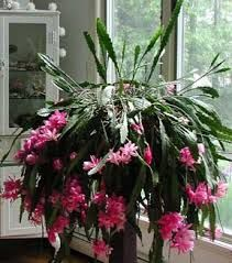 orchid cactus - Google Search