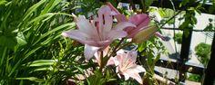 Flores mexicanas que se comen . Algunas flores guisadas correctamente dan el sabor de carne de res, otras ofrecen aromas riquísimos a platillos gourmet y otras más son una delicia si se les comen crudas
