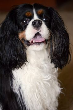 Cavalier King Spaniel, Cavalier Rescue, Cavalier King Charles Dog, King Charles Spaniel, Cute Puppies, Dogs And Puppies, Photo Pattern, Spaniel Puppies, Fluffy Dogs