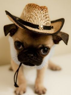 Cute pug puppy wearing a hat:)