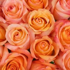 Twilight Light Orange Rose - 250 Roses