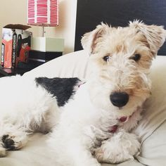 Oh hi #wft #wirefoxterrier #terriers #puppies #dogs #wirefoxterriers #instadog