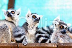 Qdiz Stock Photos | Lemurs family,  #animal #black #board #cute #family #fluffy #fur #furry #lemur #lemuridae #lemurs #life #mammal #monkey #nature #plank #primate #ring #ring-tailed #tailed #white #wild #wildlife #wood #zoo