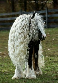OMG!  What a beautiful Gypsy Vanner!  Photo by Helen Peppe!  #eecustomhorseshoes #beautifulhorses #gpsyvanner