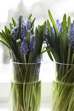 muscari for Spring Love Flowers, My Flower, Fresh Flowers, Spring Flowers, Beautiful Flowers, Wedding Flowers, Flower Names, Deco Floral, Ikebana