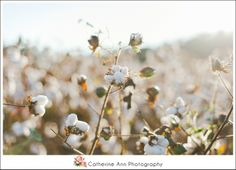 A gorgeous cotton field in South Carolina during the golden hour. Photography by Catherine Ann Photography