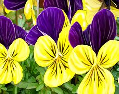 #Flowers #Purple -n- #Yellow. :)