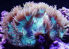 Let's do Some Zoology! - Elegance Coral (Catalaphyllia jardinei) also...