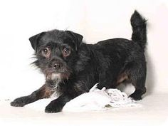 URGENT! KILL SHELTER! Pug/Poodle (Miniature) Mix Dog for adoption in San Pedro, California - TOOTHLESS
