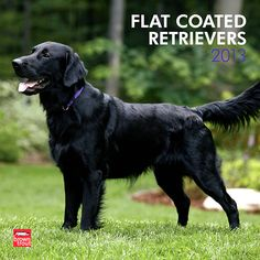 Flat-Coated Retrievers Wall Calendar: The Flat-Coated Retriever is a loving and playful dog. These dogs have a friendly exuberance about them that never wanes, even as they grow older. Clever hunting retrievers, they are intelligent, devoted, and loyal companions.  $14.99  http://calendars.com/Flat-Coated-Retrievers/Flat-Coated-Retrievers-2013-Wall-Calendar/prod201300004501/?categoryId=cat10078=cat10078#