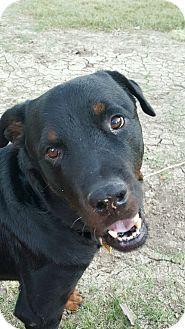 Gilbert, AZ - Rottweiler. Meet Murphy, a dog for adoption…