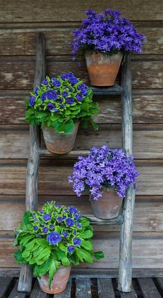Potted purples - campanula and primrose