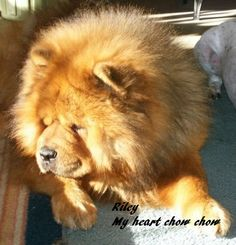 Riley my red chow.