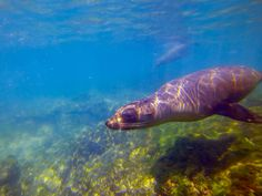 A sea lion in the Galapagos Islands. Visiting the Galapagos is a key part of any trip to Ecuador.