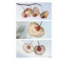 photographie d'art de physalis, en assemblage de 3 photos d'amour en cage : Photos par couleurs-nature-deco