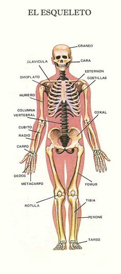 Preschool - Primary School Worksheets The Human Body Parts in Spanish. Human Body in Spanish printable worksheets designed for preschool and primary school Learning Spanish For Kids, Learning Time, School Worksheets, Printable Worksheets, Primary School, Elementary Schools, Body Parts In Spanish, Human Skeleton Anatomy, Human Body Parts