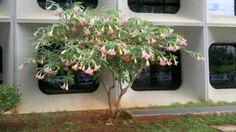 Árvore no anexo do Min da Agricultura