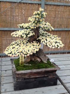 Flowering Bonsai Show at Nagoya Castle...