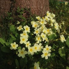 Primroses in the spring sunshine ☀️