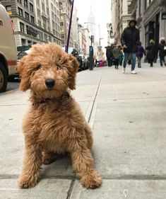 """I got """"Golden Doodle""""! Best Buzzfeed Quizzes, What Dogs, Goldendoodle, Dog Breeds, Doodles, Awesome, Cute, Animals, Animales"""
