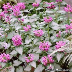 """Purple Dragon has stunning silver leaves with dark green edging and large, deep purple flowers. This Lamium is perfect for any shady area of the garden. PP * """"dead nettle"""" half sun/half shade * summer blooming, deer resistant"""