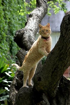 Orange tabby cat - tree