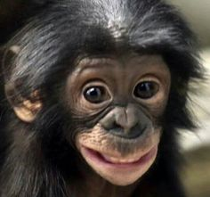 8 Good Morning Wishes With Monkey Images Happy Animals, Nature Animals, Cute Funny Animals, Cute Baby Animals, Animals And Pets, Funny Monkeys, Smiling Animals, Primates, Beautiful Creatures