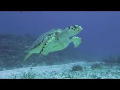 Scuba Diving in Cozumel with a Hawksbill Sea Turtle