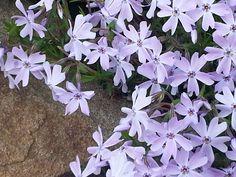 Spring Beauties....Periwinkle!