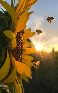 Up close sunflower with bees approaching, bathed in golden sun rays Nature Wallpaper, Wallpaper Backgrounds, Sunflower Photography, Nature Photography Flowers, Sunflower Pictures, Nature Pictures Flowers, Sunflower Wallpaper, Pretty Wallpapers, Belle Photo