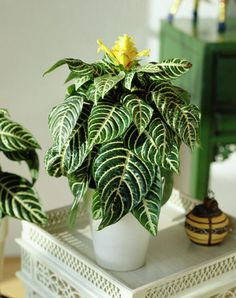 Can you tell why this plant is called the Zebra Plant? This plant works great for high light areas - be sure to make sure you keep it watered, too.